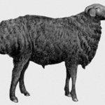 О богатом животном мире: эдильбаевская порода овец